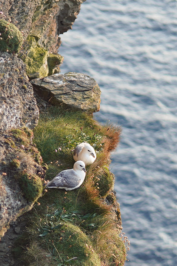 Love birds at the cliffs of moher